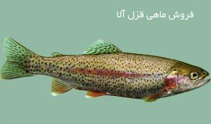 عمده ماهی قزل آلا زنده زنجان
