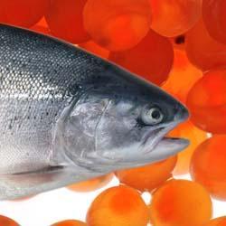 فروش ماهی قزل آلا زنده