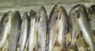 صادرات ماهی قزل آلا کرج به آذربایجان