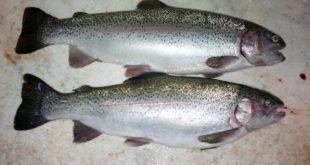 خرید ماهی قزل آلا سردابی در کرج