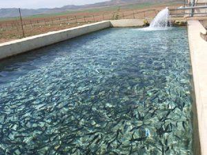 فروش بچه ماهی قزل آلا در همدان