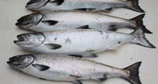 فروش عمده ماهی قزل آلا پرورشی در میادین تره بار