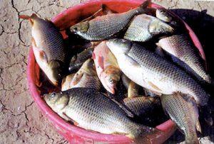 فروش ماهی قزل آلا منجمد در اصفهان
