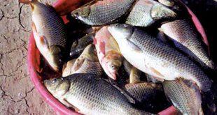فروش ماهی قزل آلا تازه