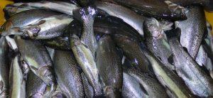 فروش ماهی قزل آلا رنگین کمان