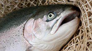 فروش عمده ماهی قزل آلا اصفهان