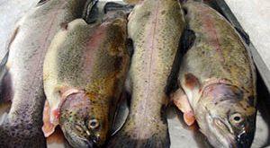 قیمت خرید ماهی قزل الا منجمد شکم خالی