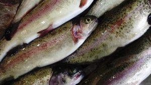 خرید عمده ماهی قزل آلا رنگین کمان
