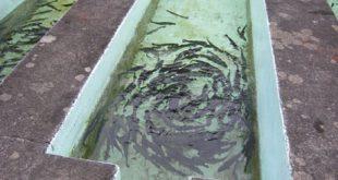 فروش بچه ماهی قزل آلا یزد