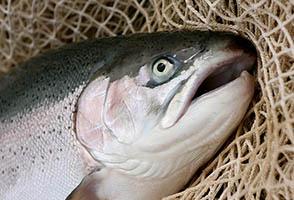 فروش ماهی قزل آلا در گیلان
