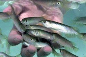 فروش بچه ماهی قزل آلا اصفهان