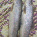 قیمت خرید و فروش ماهی قزل آلا در بازار امروز