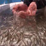 قیمت ماهی سالمون